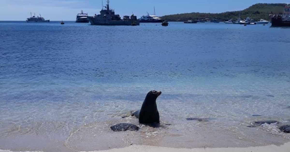 Lobo marino parte de la fauna de las islas galapagos