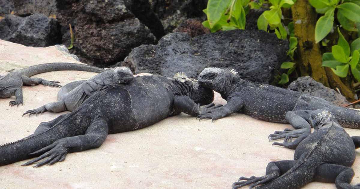 Iguanas Negras en las playas de las Islas Galápagos