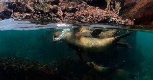Lobos Marinos en Isla Floreana