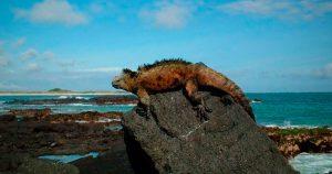 Iguana en Isla Marchena