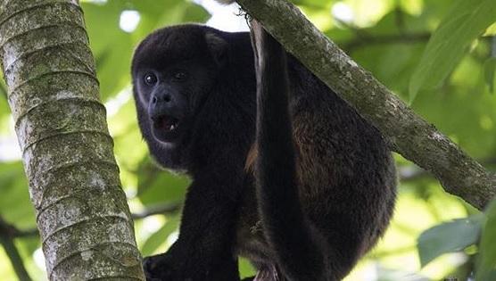 Mono en Reserva Pacoche en Manabí