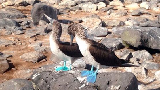 Piqueros de patas azules en Baltra