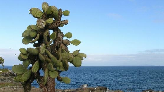 Opuntia Echios flora de Galápagos
