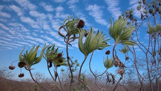 Scalesia Affinis Flora de Galápagos